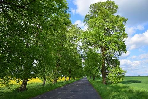 landscape path road trees spring sky clouds blue yellow canola field green tree view łódzkie lodzkie polska poland popień