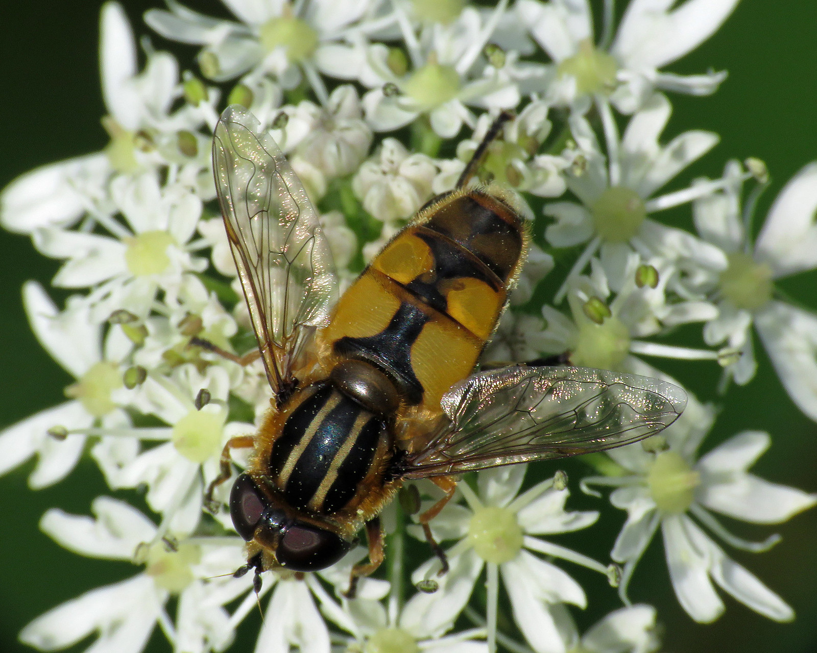 Helophilus hybridus