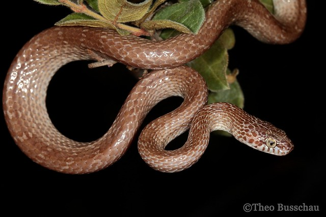 Marbled Tree Snake (Dipsadoboa aulica)