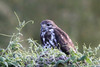 Mountain Buzzard 111118 Buteo oreophilus by Langham Birder