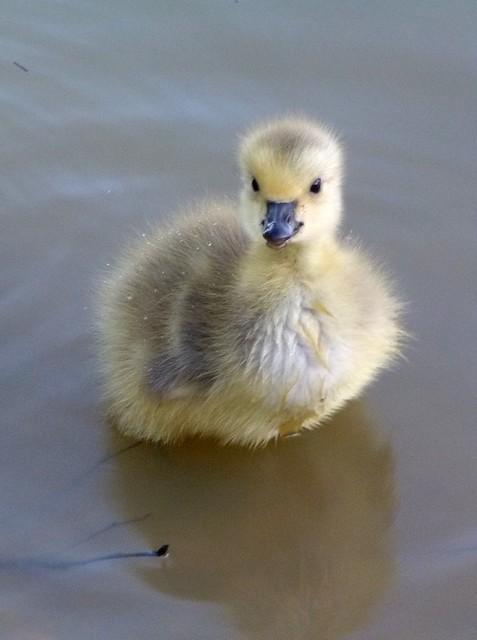 Canada Goose chick.