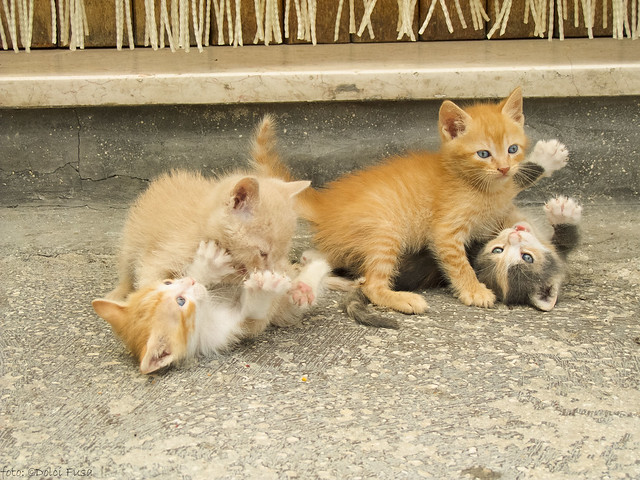 Arlecchina's kittens