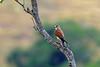 Madagascan Kestrel, Andohahela, Madagascar by Terathopius