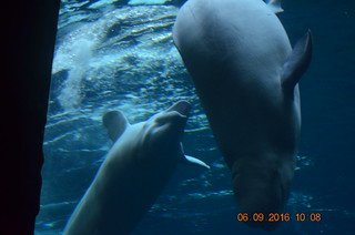 Beluga Whales Nipping Each Other