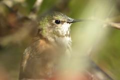 Rufous Hummingbird, Goshen, NJ, March  12, 2012