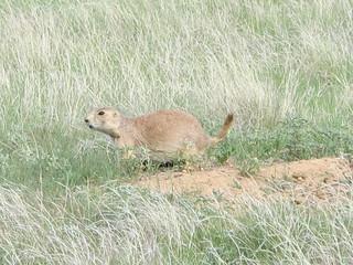 Devils Tower: Prairie dog!! | by mormolyke