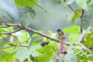 Black-goggled Tanager (Trichothraupis melanops) | by jrothdog