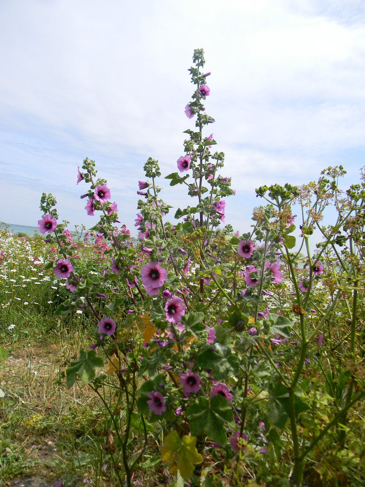 Tree Mallow Deal to Dover