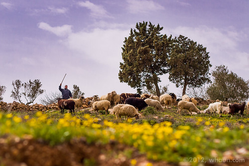 flowers israel spring sheep shepherd westbank flock middleeast pasture bethlehem stonewalls grazing bethelehem
