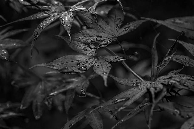Black Leaves - June 2016