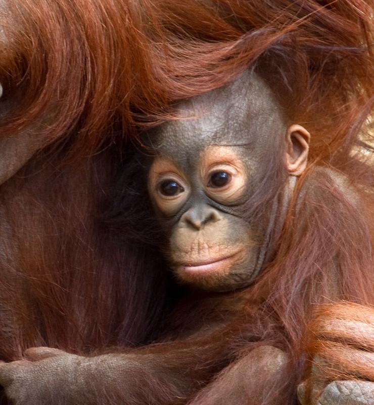 Baby Orangutan 2