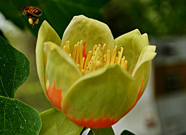 Poplar Tulip