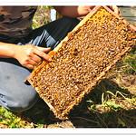 0079 蜂和小鎮 . 台灣 農業 人文写真 - 台南東山區的專業養蜂人 . Royal Jelly 蜂王乳 Propolis 蜂膠 . Honey Bees . Nature Life . The Beekeeper . Tainan Dungshan District . Professional Beekeeping in Taiwan