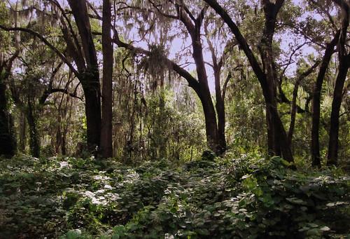 forest oak quercus florida tillandsia