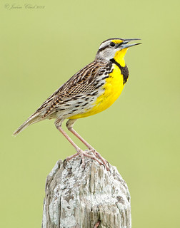 Eastern Meadowlark | by www.momentsinature.com