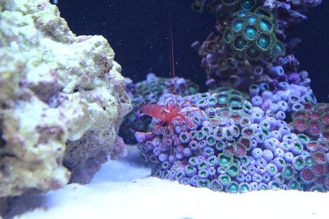 Peppermint Shrimp & Zoanthid
