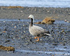 Emperor Goose (Chen canagica) by Critter Seeker