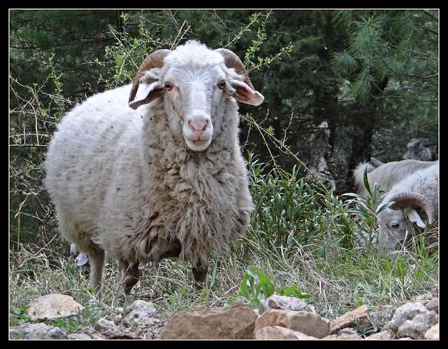 Gaddi Sheep