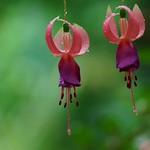 フクシア 'レオノラ'/Fuchsia hybrida cv.Leonora