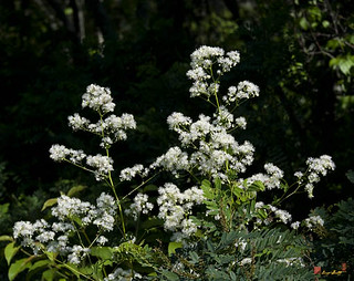 Tall Meadow Rue, Thalictrum polygamum (DSMF192) | by Gerry Gantt Photography