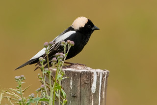 Bobolink, m. | by Kelly Colgan Azar