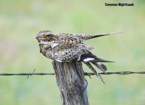 -Nighthawk-Common-Meade Co., KS | by Tricolor Brian