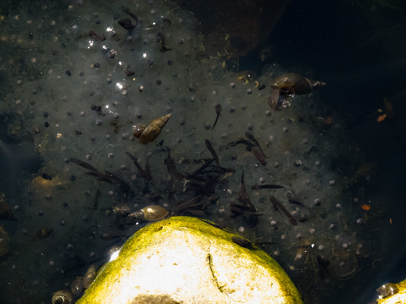 Tadpoles, snails and frogspawn