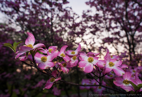 pink flowers morninglight dogwood dogwoods nikond700