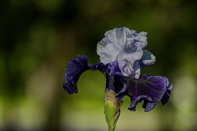 Iris3 - Blue