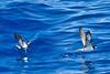 011031-IMG_2909 Gould's/Collared Petrels (Pterodroma leucoptera/Pterodroma brevipes) by ajmatthehiddenhouse