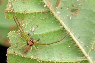 Crab spider (Thomisidae) - DSC_1294