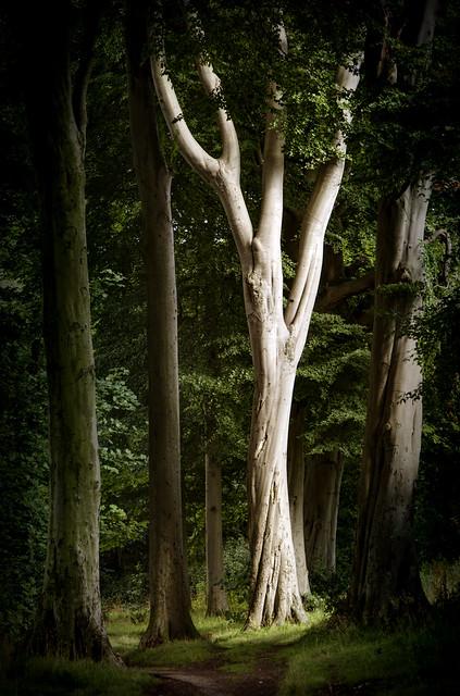 Beech tree in the woods...