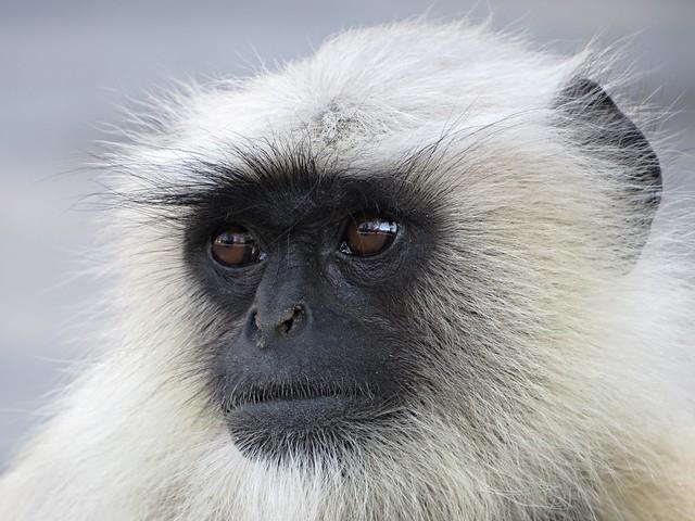 monkey at Ranakpur