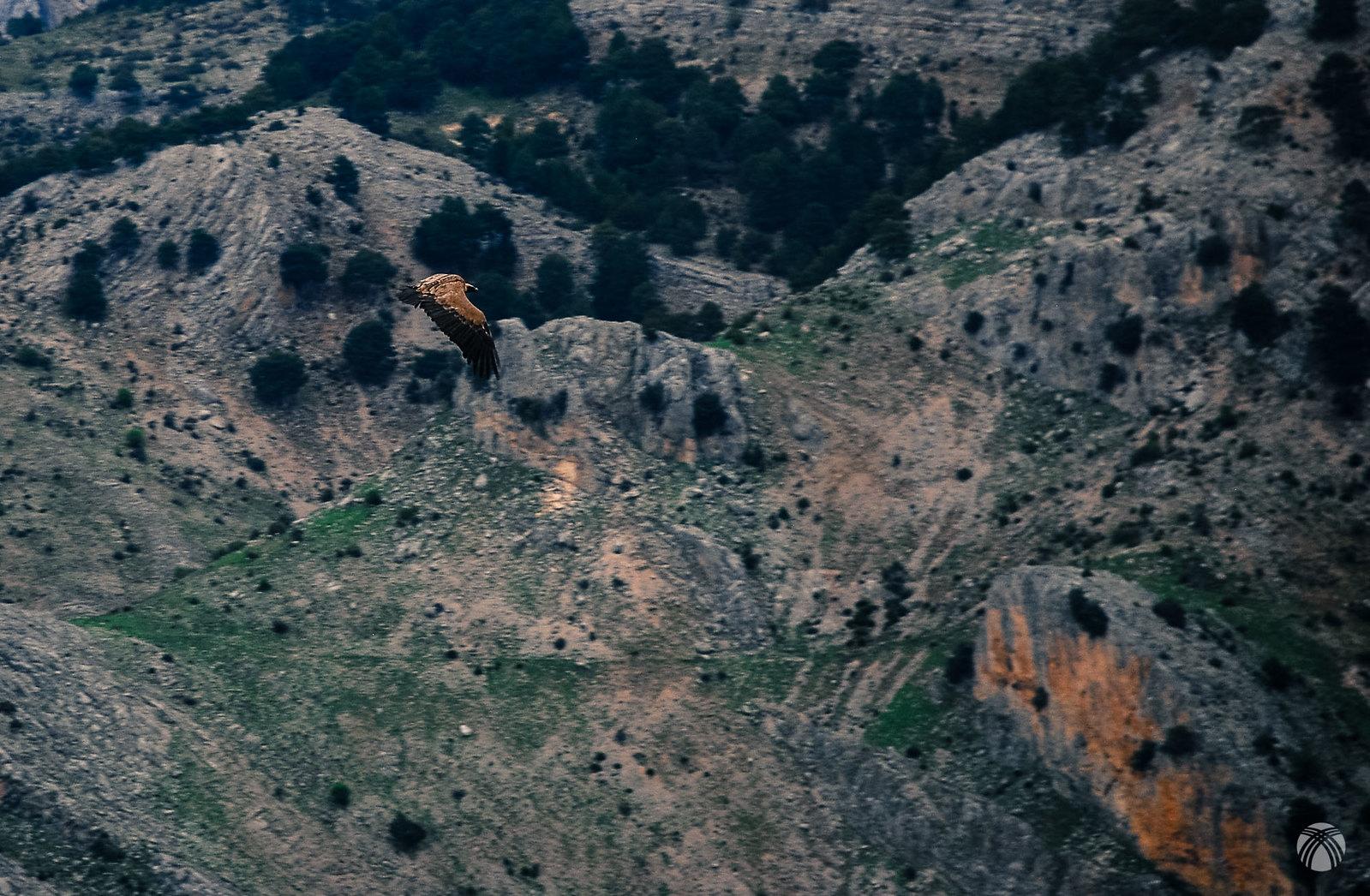 El vuelo de un leonado