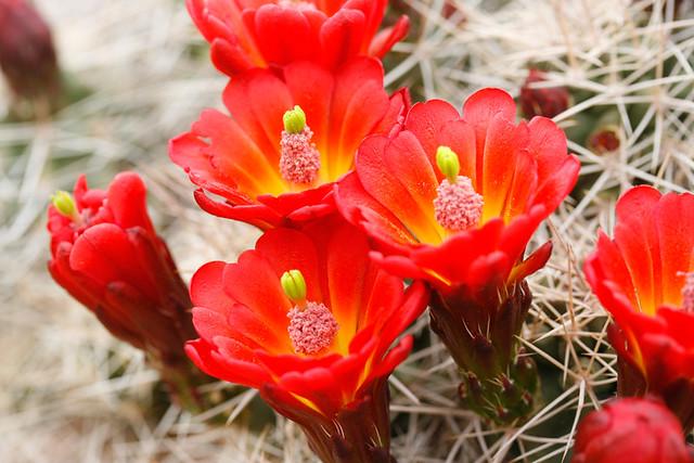 Hartnett, Claret Cup Cactus (2)