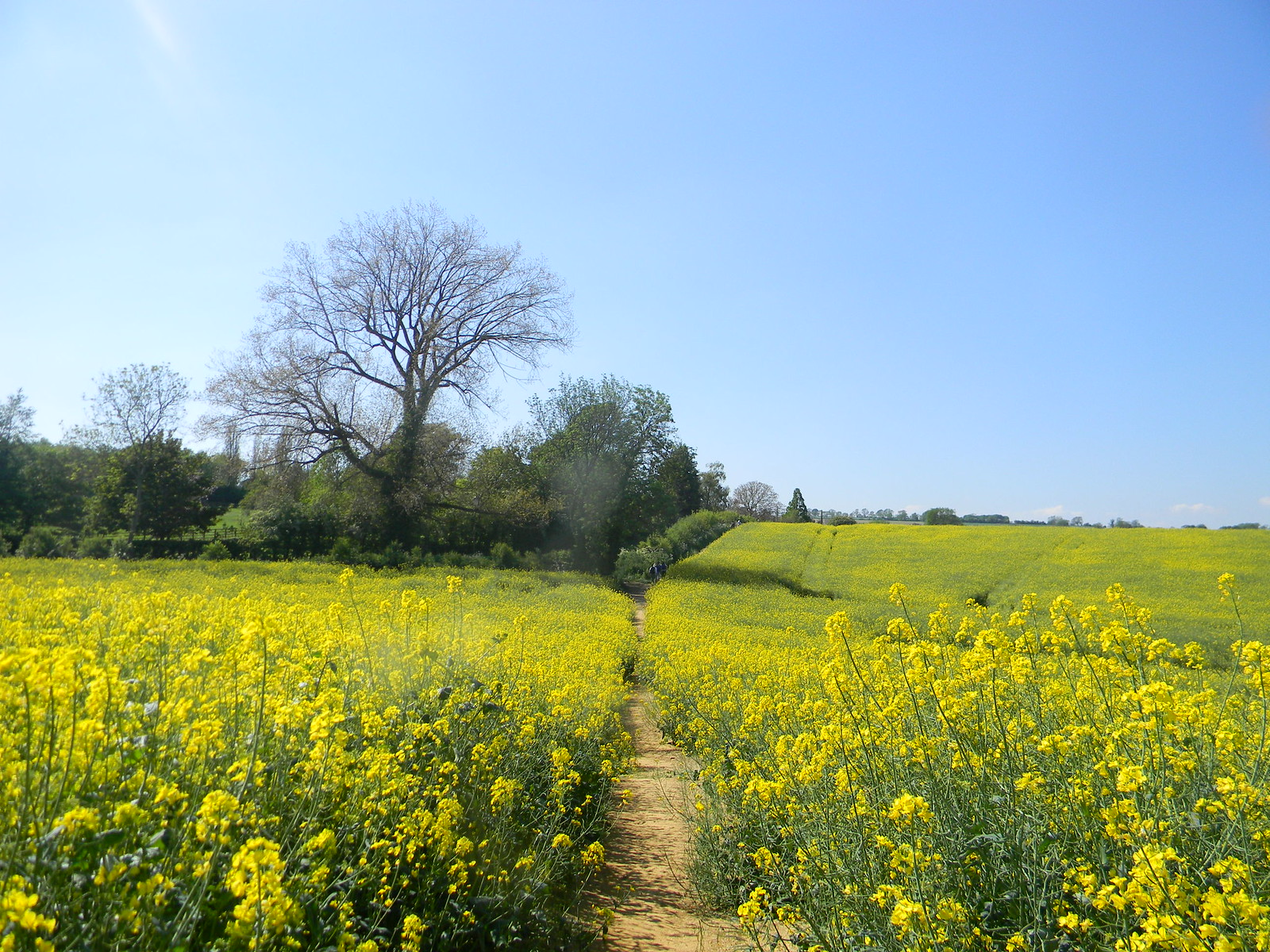 Rapefield with hedge Moreton-in-Marsh Circular