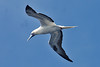 016008-IMG_2709 Red-footed Booby (Sula sula) by ajmatthehiddenhouse