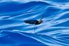 012002-IMG_2915 Wilson's Storm-petrel (Oceanites oceanicus) by ajmatthehiddenhouse