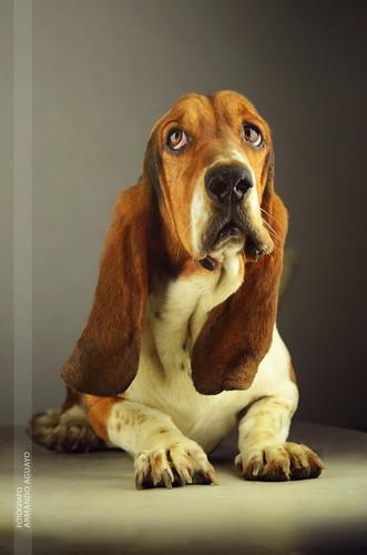 """Mi perro """"Napoleón"""" // basset hound"""