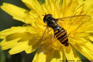 Mosca xoriguer (femella) (Episyrphus balteatus)   by Joan Quintana (joanillo)