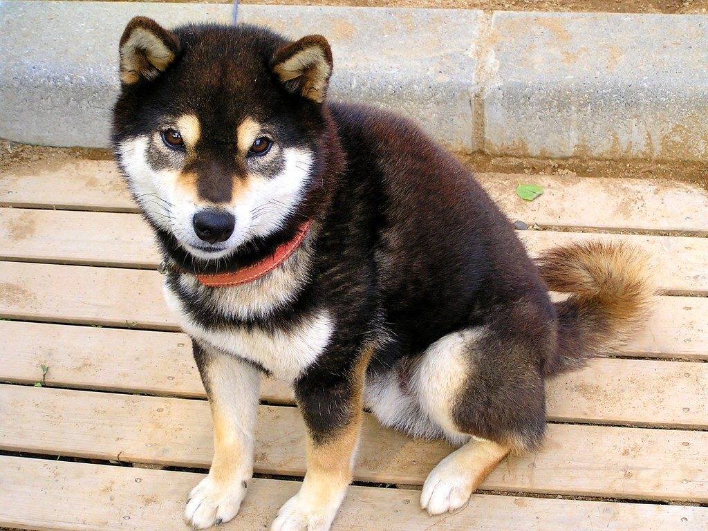 2012 05 24 Black Tan Shiba Inu Japanese Dog Eriko Jpn Flickr