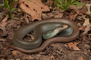 Coluber constrictor ssp. (North American Racer) | by Kyle L.E.