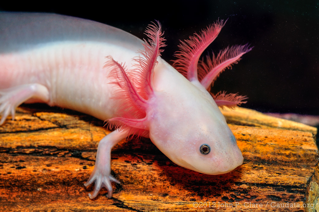 Axolotl (Ambystoma mexicanum) - Leucistic