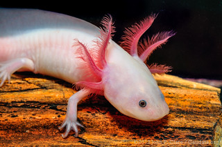 Axolotl (Ambystoma mexicanum) - Leucistic | by Seánín Óg