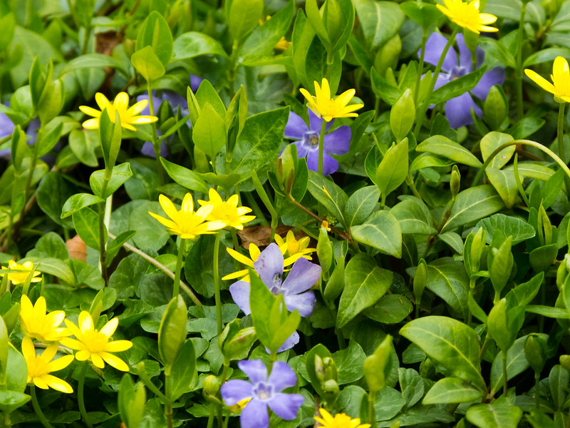 Celandines and Periwinkles