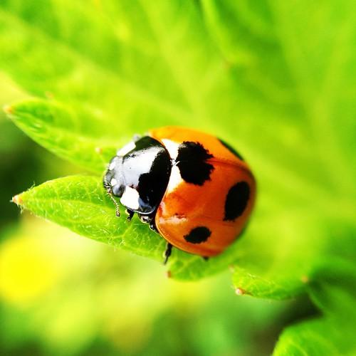 GRD3との比較用にもう一枚 #SevenSpottedLadybug #ladybug #olloclip #macro   by norio_nomura