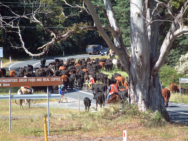 Cattle at Moira