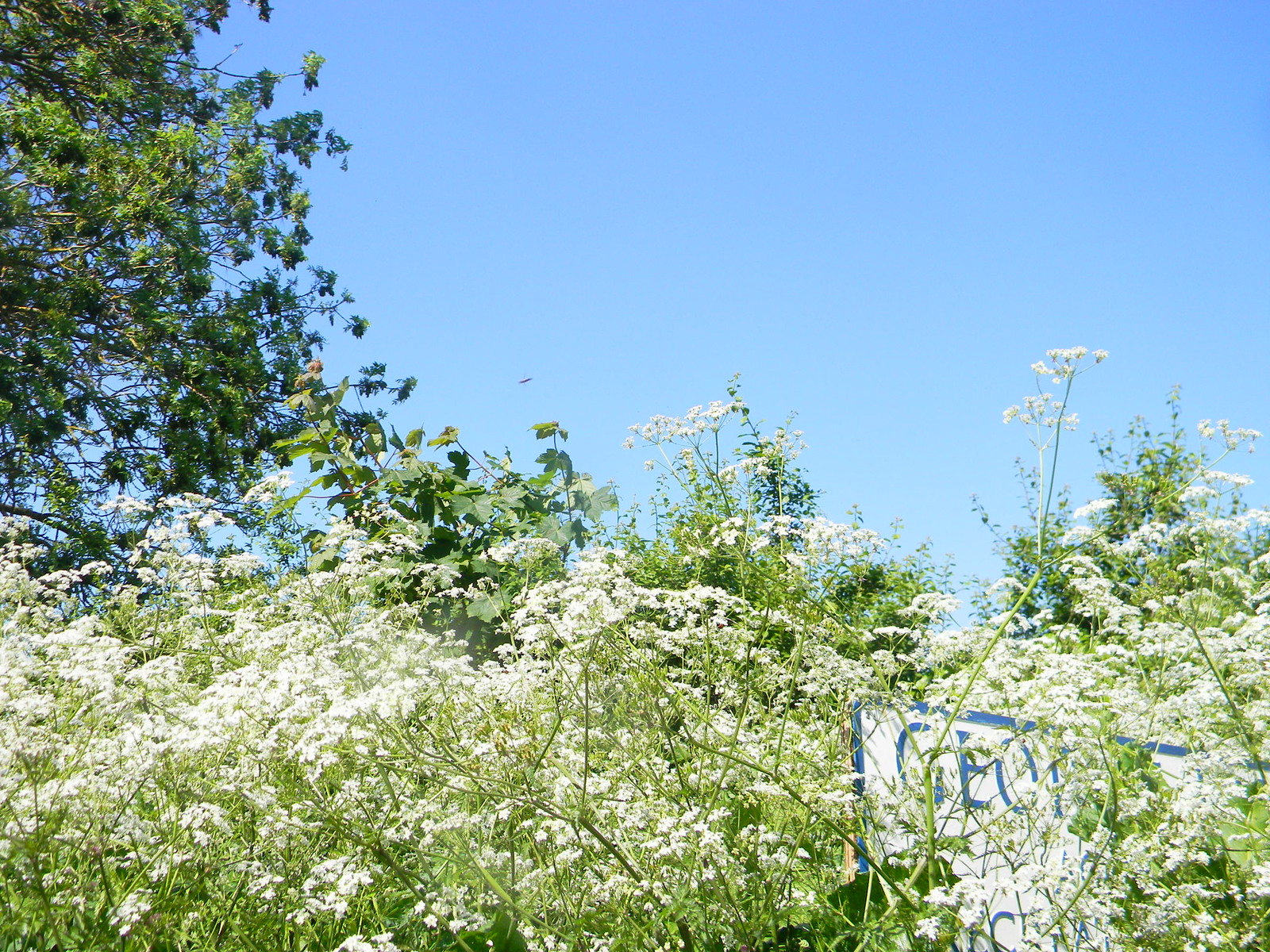 Cow parsley with sign Moreton-in-Marsh Circular