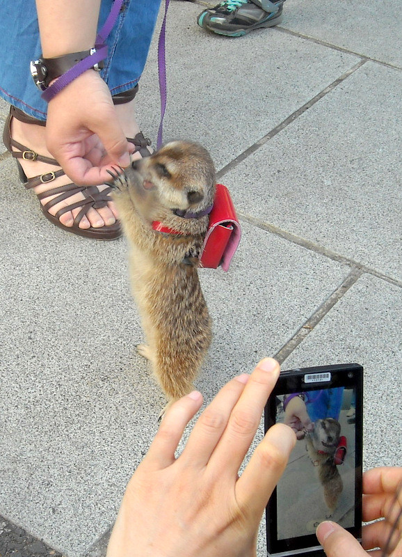 Japanese Pets - Meerkat and backpack