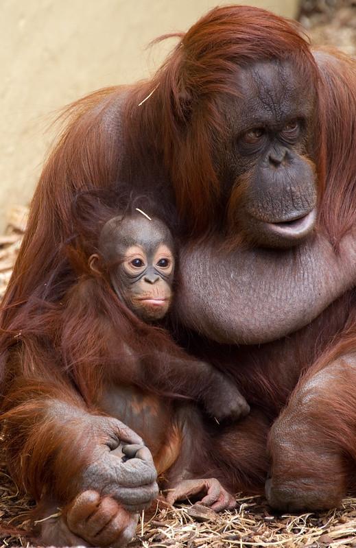 Baby Orangutan 3